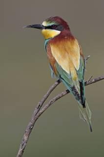 Vogel_Bienenfresser_FOTO