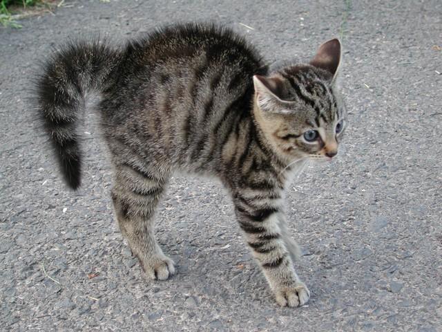 Katzenbuckel